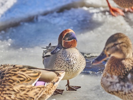 male teal on the lake in winter Stock Photo