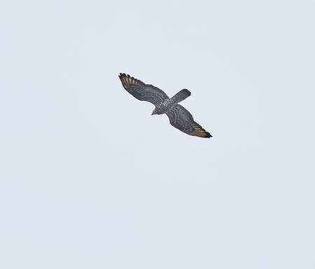 avian bird in flight