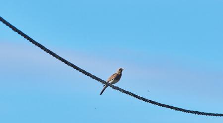 thrush on the wire. summer Reklamní fotografie