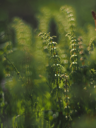 horsetail in the forest Stock Photo