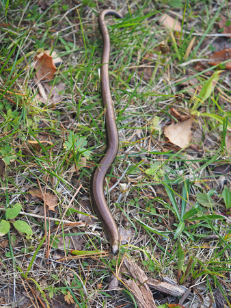Slowworm (anguis fragilis) in forest