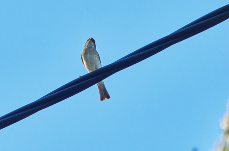 the flycatcher bird on the wire Stock Photo