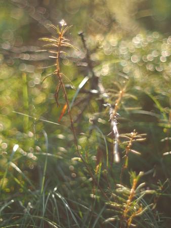 wild rosemary in the swamp Stock Photo
