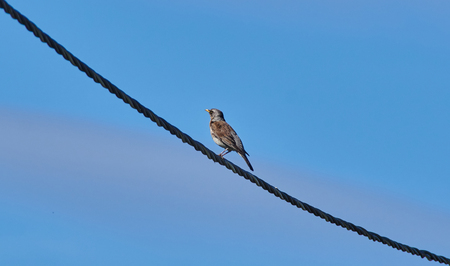 thrush on the wire. summer Stock Photo