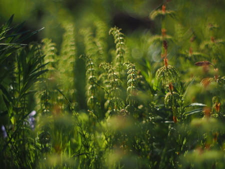 horsetail in the forest background.