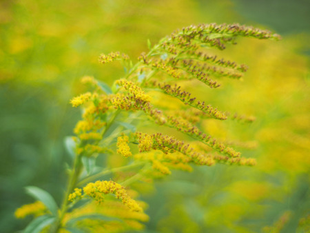 yellow flowers of goldenrod in the forest