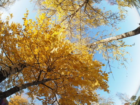 yellowed tree crown in autumn