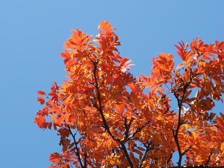 yellowed tree crown in autumn