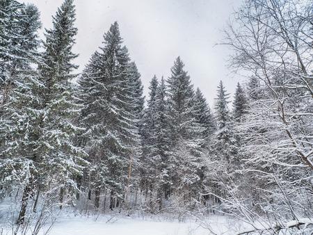 coniferous forest in the snow Standard-Bild - 112765949