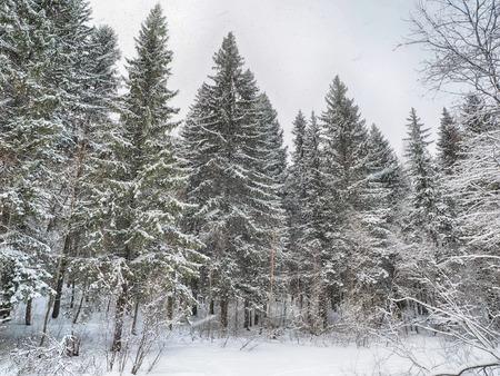 coniferous forest in the snow Standard-Bild - 112766022