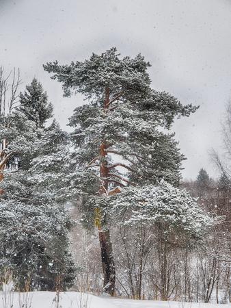 coniferous forest in the snow Standard-Bild - 112766106