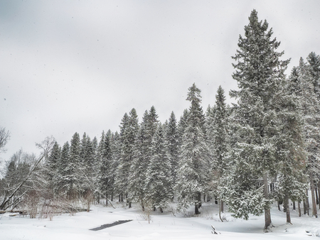 coniferous forest in the snow