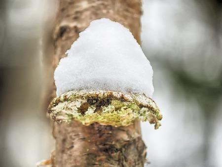 tinder mushroom in the snow