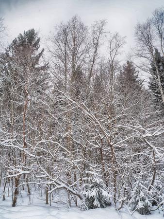 coniferous forest in the snow Standard-Bild - 112766244