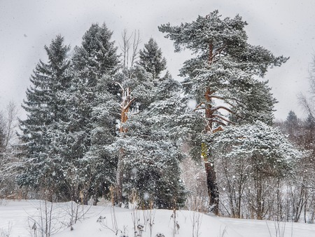 coniferous forest in the snow Standard-Bild - 112766310
