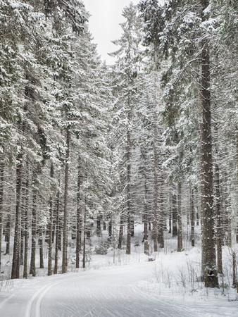 bosco di conifere nella neve Archivio Fotografico