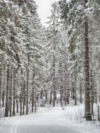 coniferous forest in the snow 版權商用圖片 - 112766316