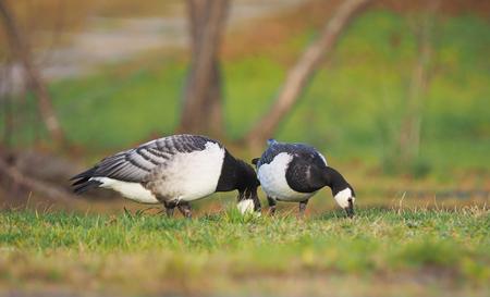 barnacle goose on the lake