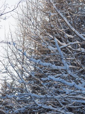 tree branches in the snow. winter Banco de Imagens