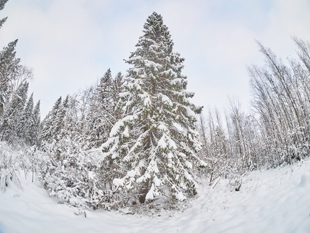taiga forest in winter