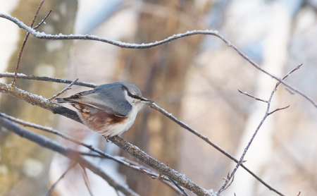 nuthatch in the forest. winter Stock Photo