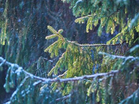 spruce branches in the snow. winter Banco de Imagens