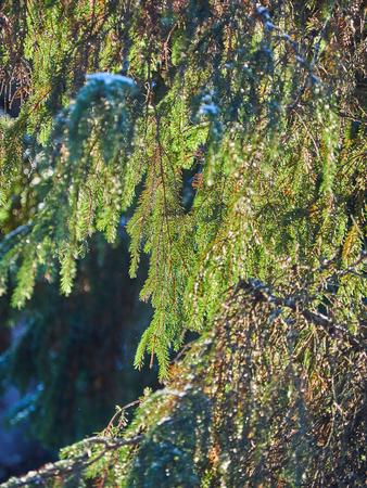spruce branches in the snow. winter Banco de Imagens - 118493242