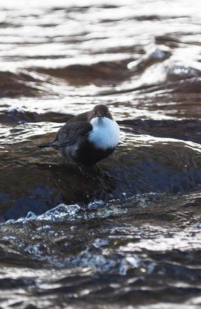 dipper bird on the river. winter
