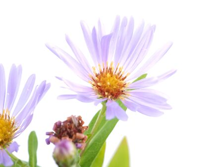 flower aster perennial on a white background