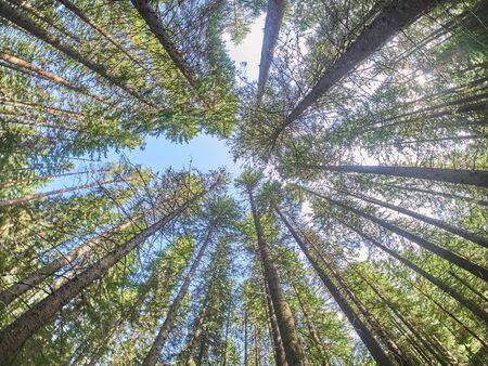 coronas de árboles en el bosque. abajo arriba Foto de archivo
