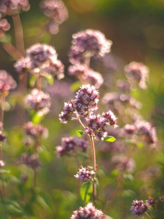 oregano flowers in the forest