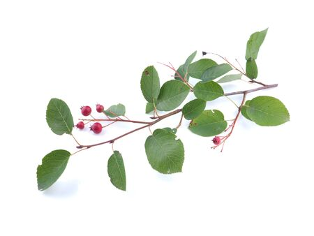 Branch of shadberry (Amelanchier ovalis) n a white background 스톡 콘텐츠