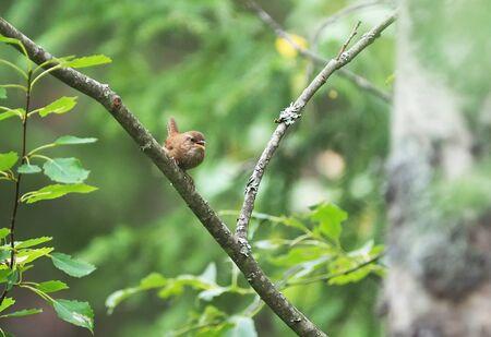 Wren bird in the forest