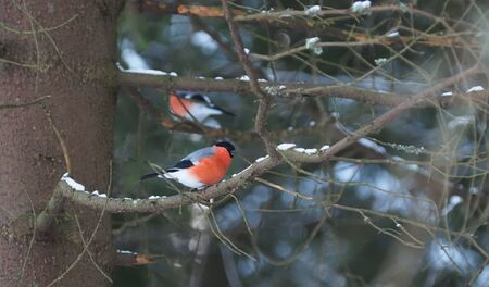 bullfinches on a branch ate in the forest
