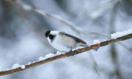 tit bird in the forest. winter Banco de Imagens