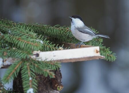 tit on a feeding trough in the forest