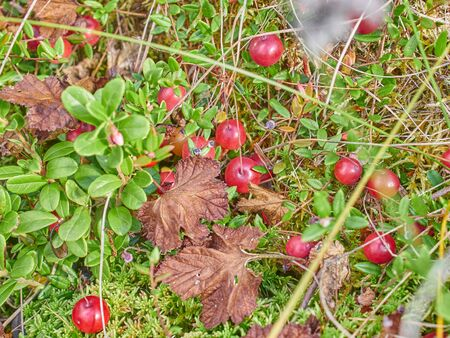 cranberries in the swamp. forest