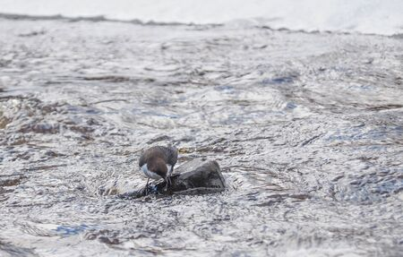 Dipper bird on the river. winter Banque d'images