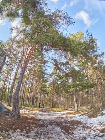 pine trees in the park. Spring Stock Photo