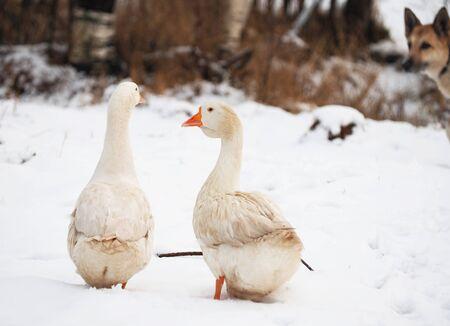 White goose in the village. Winter