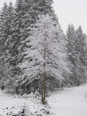snow in the forest background.