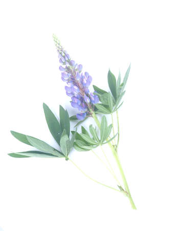 blue lupine flowers on a white background 版權商用圖片