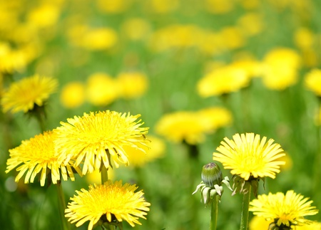 Spring meadow with dandelions Stock Photo - 9997335