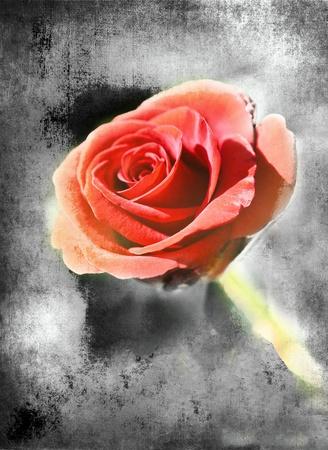 Red rose on black scratched background, art grunge illustration Stock Illustration - 9885919