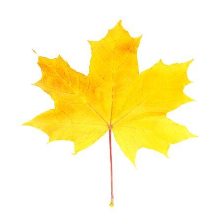 Maple leaf isolated on white background photo