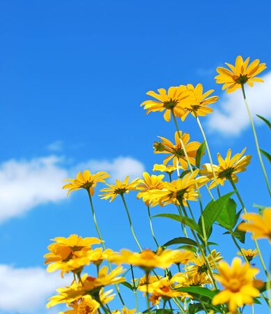 flower of live: Daisy flowers. Yellow flowers against blue cloudy sky