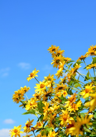 Daisy flowers. Yellow flowers against blue cloudy sky photo