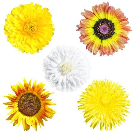 Daisy flowers, dandelion, sunflower isolated over white background photo