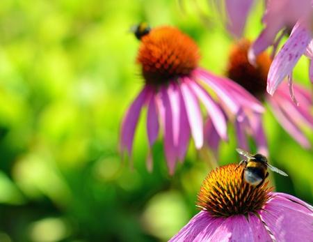 Bee on chamomile flower photo