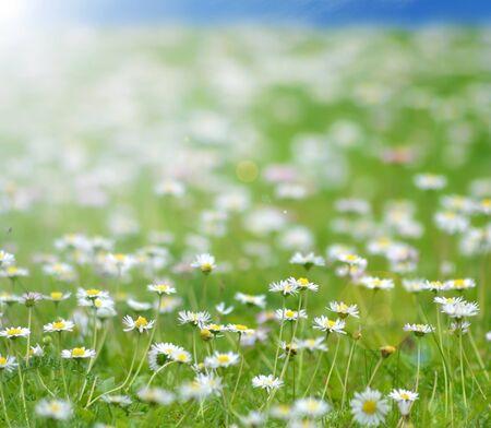 Daisy flowers field Stock Photo - 15070703